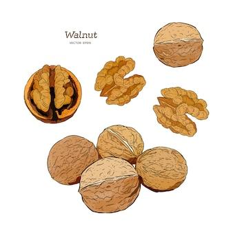 Illustration de la noix
