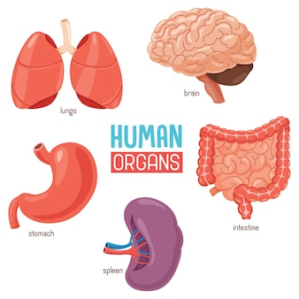 Illustration des organes humains