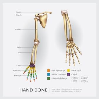 Illustration d'os de bras et de main