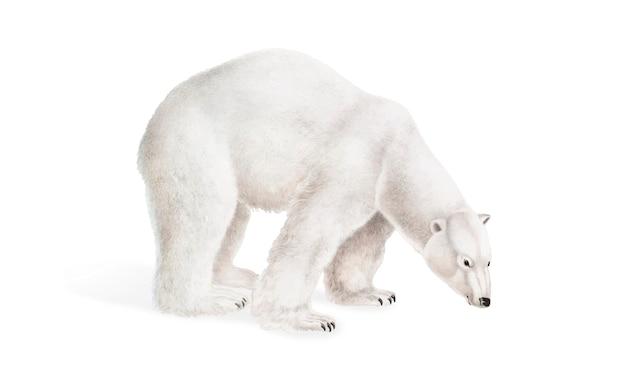 Illustration de l'ours polaire