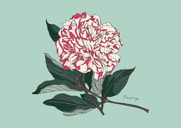 Illustration de pivoine fleurie