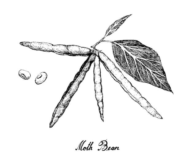 Illustration de plante haricot dessiné à la main