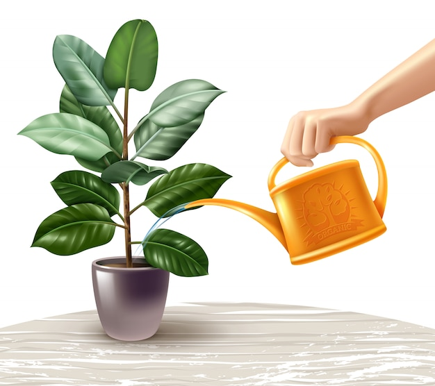 Illustration réaliste d'arrosage ficus
