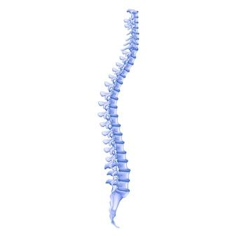Illustration réaliste colonne vertébrale humaine de profil d'os