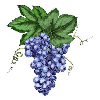 Illustration réaliste de raisins