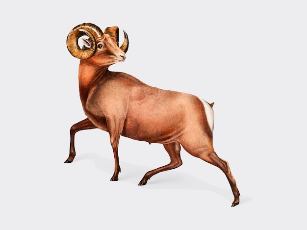 Illustration de rocky mountain sheep