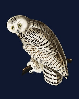 Illustration de snowy owl