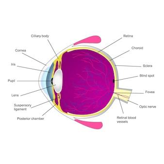 Illustration de la structure de l'œil humain deux