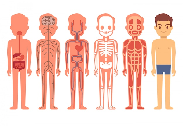 Illustration vectorielle d'anatomie du corps humain