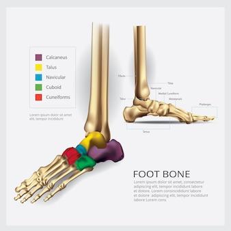 Illustration vectorielle d'anatomie des os du pied