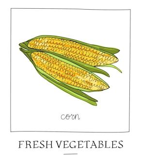Illustration vectorielle dessinés à la main de l'épi de maïs isolé.