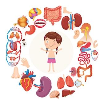 Illustration vectorielle d'organes humains