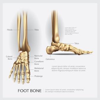 Illustration vectorielle d'os de pied d'anatomie humaine