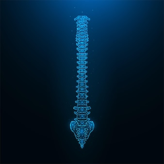 Illustration vectorielle polygonale d'une colonne vertébrale humaine saine. anatomie de la colonne vertébrale.