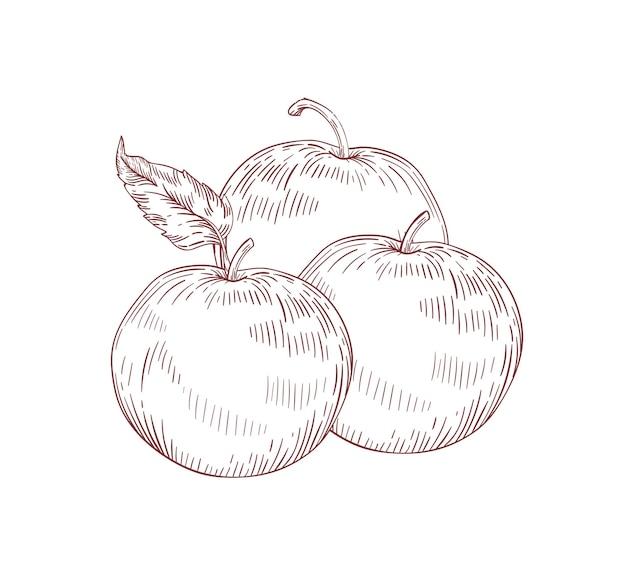 Illustration vectorielle réaliste de pommes entières juteuses. fruits crus avec des feuilles clipart isolé sur fond blanc. culture biologique, produit de la ferme écologique. éléments de conception dessinés à la main détaillés de pommes mûres.