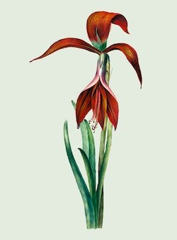 Illustration vintage d'amaryllis formosissima