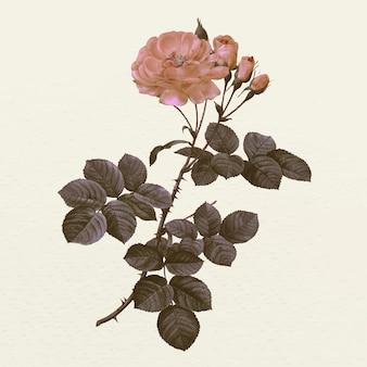 Illustration vintage de fleur de rose de damas, remixée à partir d'œuvres d'art du domaine public