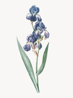 Illustration vintage d'iris dalmatien