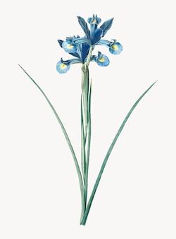 Illustration vintage d'iris espagnol