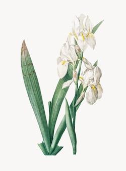 Illustration vintage d'iris florentina