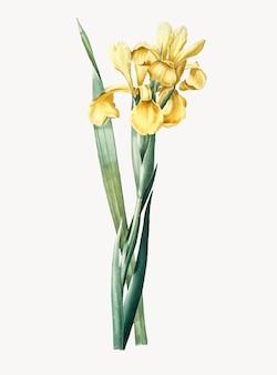 Illustration vintage d'iris monnieri