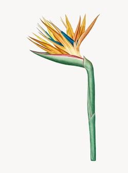 Illustration vintage de l'oiseau de paradis