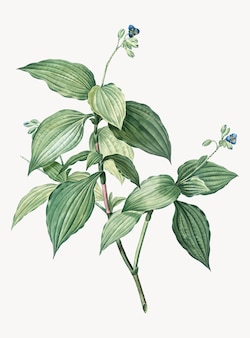 Illustration vintage de tradescantia erecta