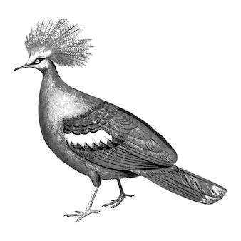 Illustrations anciennes de goura