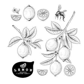 Illustrations botaniques dessinées à la main de citron.