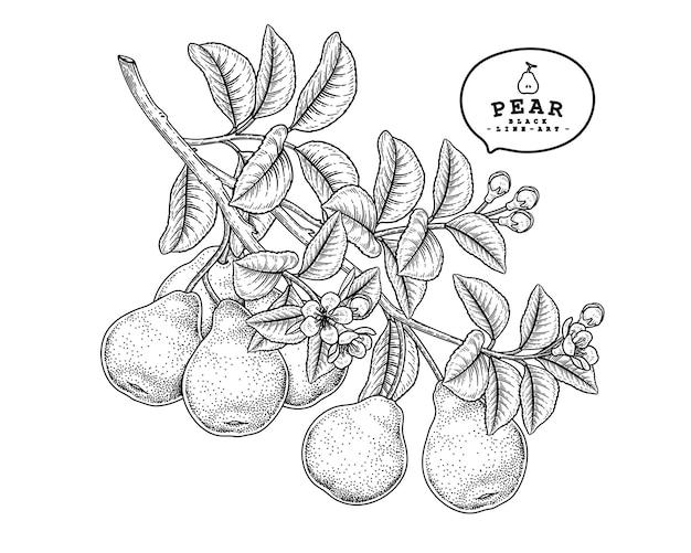 Illustrations botaniques dessinées à la main de fruits poire
