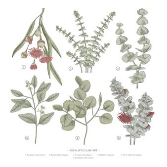 Illustrations dessinées à la main d'eucalyptus.