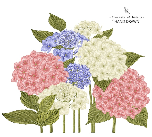 Illustrations de dessins de fleurs d'hortensia