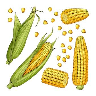 Illustrations de ferme vectorielles. différents côtés du maïs