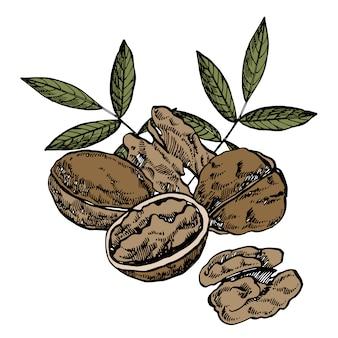 Illustrations de noix dessinées à la main