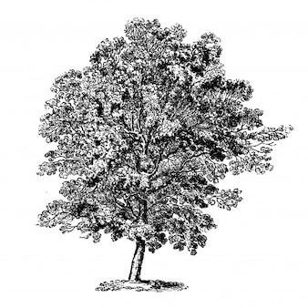 Illustrations vintage d'arbre de charme