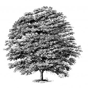 Illustrations vintage de buckeye tree jaune