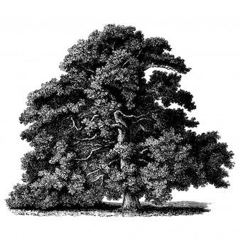 Illustrations vintage de chêne sessile