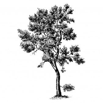 Illustrations Vintage de chêne-liège