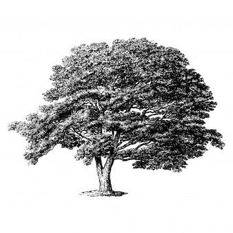 Illustrations vintage du japon sophora tree
