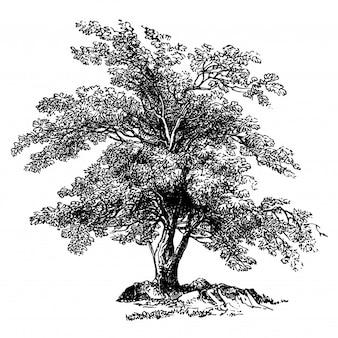 Illustrations vintage d'olivier