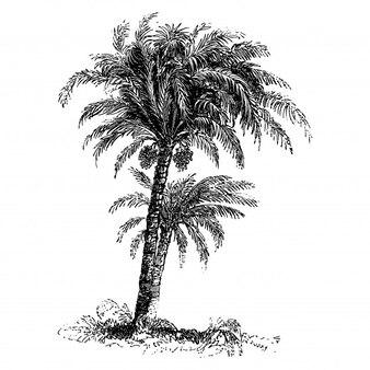 Illustrations vintage de palmier dattier