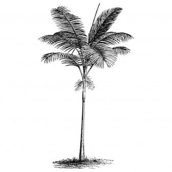 Illustrations vintage de palmier de plume