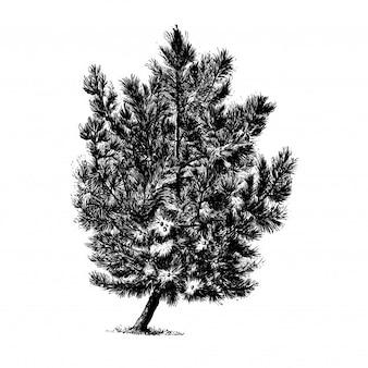 Illustrations vintage de pin pinaster