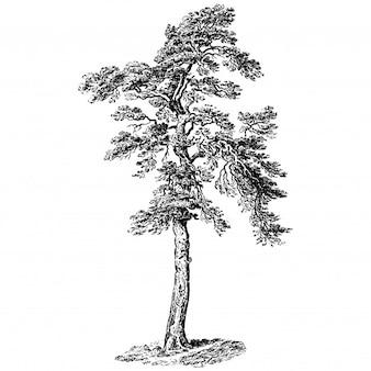 Illustrations vintage de pin sylvestre