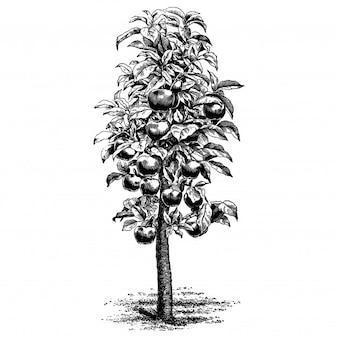 Illustrations vintage de pommier