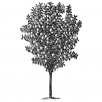 Illustrations vintage de prunier