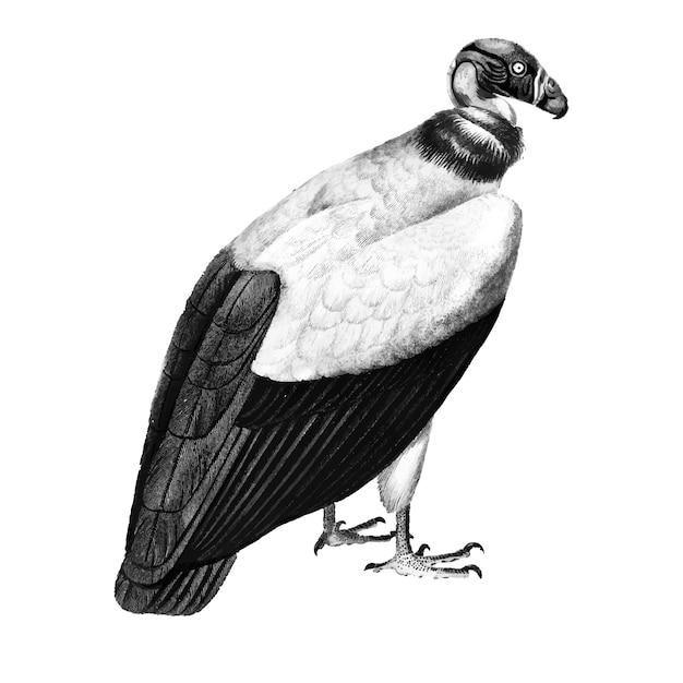 Illustrations vintages du vautour roi