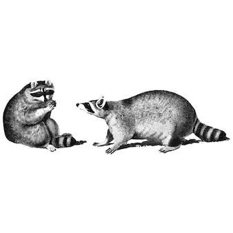Illustrations vintages de ratons laveurs