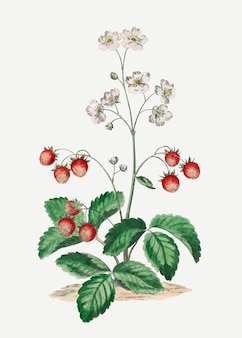 Impression d'art botanique vintage de vecteur de fraise, remixée d'œuvres d'art de john edwards