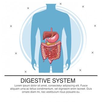 Infographie du système digestif avec information